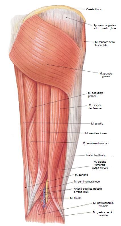 Cyclette orrizontale - Muscoli coinvolti. Fonte: http://www.studioequilibri.it/muscoli-posteriori-della-coscia-ischio-crurali